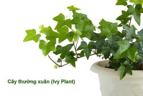 tinh chất chữa ho làm từ thảo dược thiên nhiên – lá thường xuân