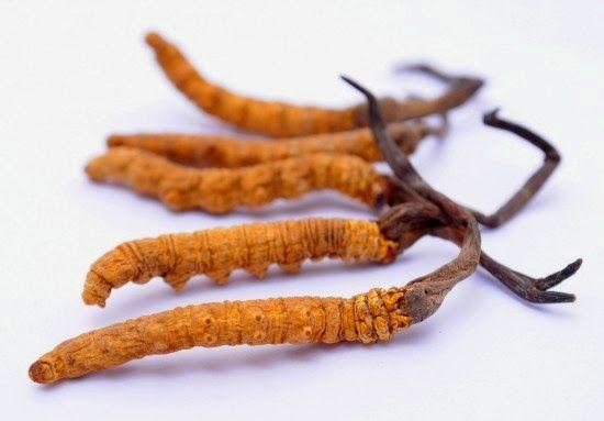 Được chiết xuất 100% từ đông trùng hạ thảo nguyên chất