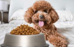 Top 13 đồ ăn cho chó Poodle giúp lông đẹp và dinh dưỡng nhất