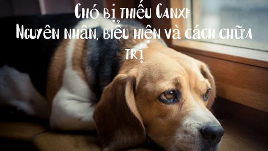 Chó bị thiếu Canxi: Nguyên nhân, biểu hiện và cách chữa trị