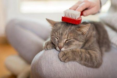 Có nên cạo lông mèo không? Mèo có chịu được nóng không?
