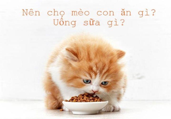 Nên cho mèo con ăn gì để mập? Uống sữa gì?