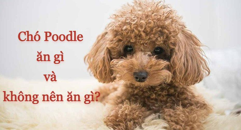 Chó Poodle ăn gì và không nên ăn gì để khỏe mạnh, nhanh lớn