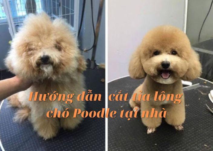Hướng dẫn tự cắt tỉa lông chó Poodle tại nhà vừa rẻ vừa dễ